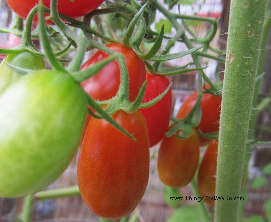 thingsthatwedo.com pic - tomatoes 2015