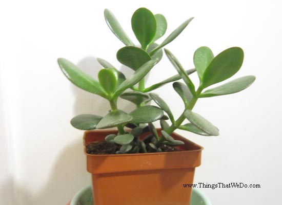 thingsthatwedo.com pic - jade plant oct 2015